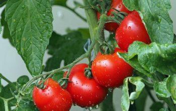Jak właściwie przechowywać pomidory w specjalistycznej przechowalni?