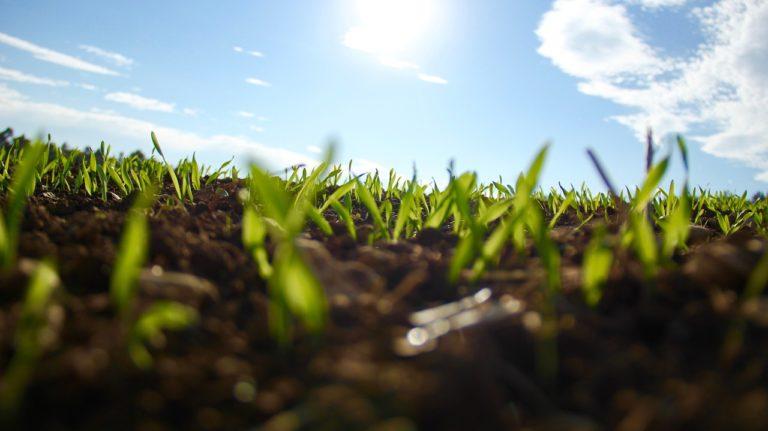 Korzystanie z ochrony zbóż jarych